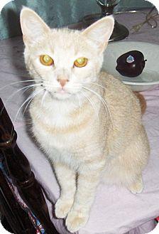 Domestic Shorthair Kitten for adoption in Chandler, Arizona - Nibbles