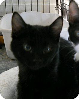 Domestic Shorthair Kitten for adoption in Chandler, Arizona - Mutts