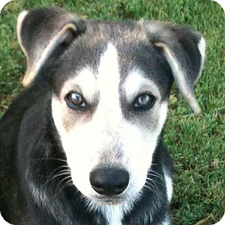 Husky Mix Puppy for adoption in Weatherford, Texas - Deuce