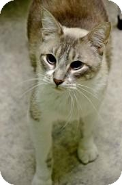 Siamese Cat for adoption in Fort Smith, Arkansas - Big Ben