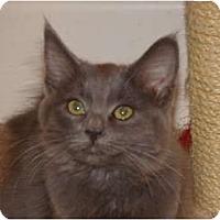 Adopt A Pet :: Lelani-Russian Blue -longhair - Scottsdale, AZ