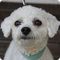 Adopt A Pet :: Scoobie - La Costa, CA