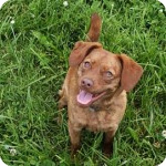 Beagle Mix Dog for adoption in Russellville, Kentucky - Paisley