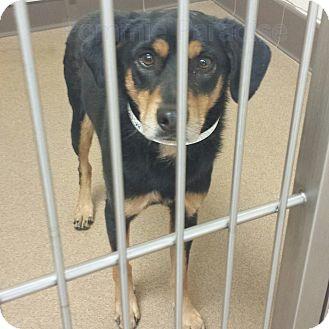 Labrador Retriever Mix Dog for adoption in Las Vegas, Nevada - Smokey