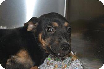 Shepherd (Unknown Type) Mix Puppy for adoption in Edwardsville, Illinois - Snickerdoodle