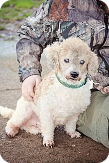 Poodle (Standard) Mix Dog for adoption in Sheridan, Oregon - Justin