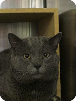 Domestic Shorthair Cat for adoption in Pueblo West, Colorado - Spectre