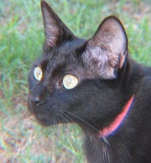 Oriental Cat for adoption in Gonzales, Texas - Sarah