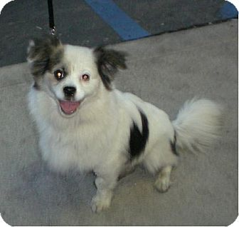 Papillon/Pomeranian Mix Dog for adoption in Long Beach, California - Sushi