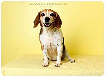 Beagle Dog for adoption in Baton Rouge, Louisiana - Margie