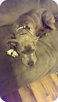 Pit Bull Terrier Mix Dog for adoption in Crown Point, Indiana - Cinder