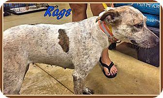 Australian Cattle Dog Mix Dog for adoption in Ahoskie, North Carolina - Rags