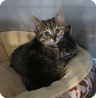 Domestic Shorthair Kitten for adoption in Geneseo, Illinois - Cricket