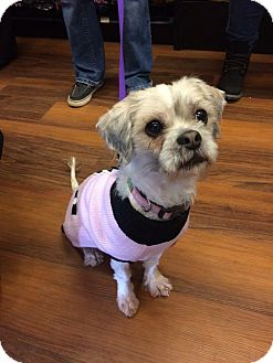 Shih Tzu/Lhasa Apso Mix Dog for adoption in Newtown, Connecticut - Marsha
