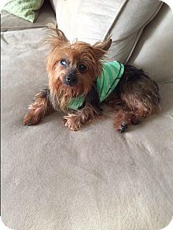 Yorkie, Yorkshire Terrier Dog for adoption in Ocean Ridge, Florida - Jojo