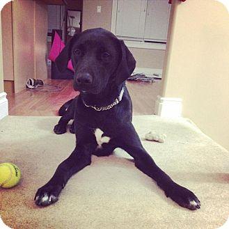 Labrador Retriever Mix Dog for adoption in Saskatoon, Saskatchewan - Pepper