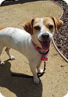 Beagle/Terrier (Unknown Type, Small) Mix Dog for adoption in Los Angeles, California - Hollie