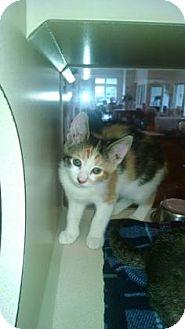 Domestic Shorthair Kitten for adoption in Gloucester, Virginia - ROSETTA