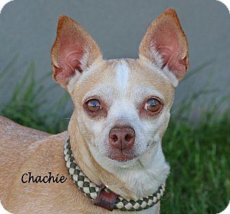 Chihuahua Mix Dog for adoption in Idaho Falls, Idaho - Chachie