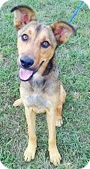 Shepherd (Unknown Type)/Labrador Retriever Mix Dog for adoption in Goodlettsville, Tennessee - Dante