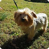 Adopt A Pet :: Beezus - Arlington, TN