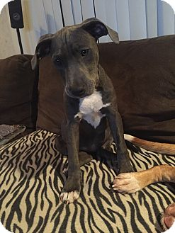 American Pit Bull Terrier/Labrador Retriever Mix Puppy for adoption in New Port Richey, Florida - Sky