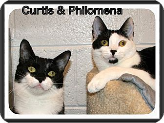 Domestic Shorthair Cat for adoption in Atco, New Jersey - Philomena
