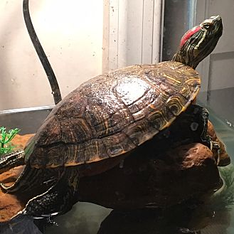 Turtle - Water for adoption in Baltimore, Maryland - Violet