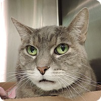 Domestic Shorthair Cat for adoption in Sioux City, Iowa - TESSA