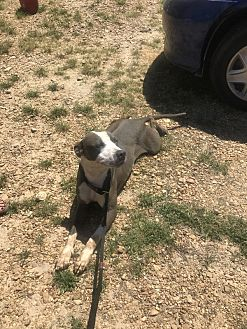 American Pit Bull Terrier Mix Dog for adoption in Jackson, Mississippi - Monty