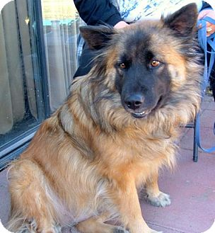 Keeshond/Shepherd (Unknown Type) Mix Dog for adoption in Antioch, California - Sheba