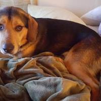 Adopt A Pet :: Romeo - La Plata, MD
