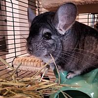 Adopt A Pet :: Georgie - Lindenhurst, NY