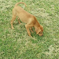 Adopt A Pet :: Ruby Sue - Florence, KY