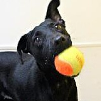 Adopt A Pet :: SUZY Q - Little Rock, AR