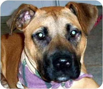 Boxer Mix Puppy for adoption in Chapel Hill, North Carolina - Brice