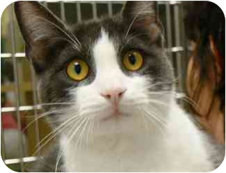Domestic Shorthair Cat for adoption in Houston, Texas - Ely