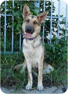 German Shepherd Dog Dog for adoption in Los Angeles, California - Stella von Bremen