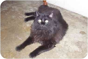 Persian Cat for adoption in Osceola, Arkansas - Prince