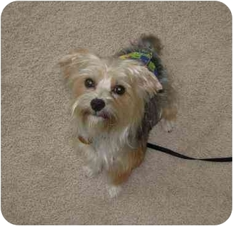 Yorkie, Yorkshire Terrier Dog for adoption in Conroe, Texas - Beamer