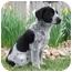 Photo 1 - Border Collie/Australian Shepherd Mix Puppy for adoption in Westminster, Colorado - RACHEL
