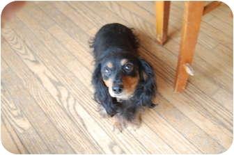 Dachshund Dog for adoption in Hainesville, Illinois - Sassy