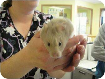 Hamster for adoption in Barron, Wisconsin - Gus-Gus