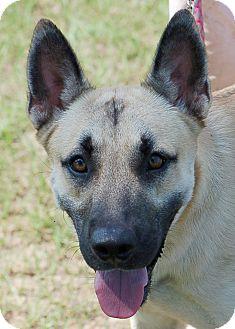 German Shepherd Dog/Belgian Shepherd Mix Puppy for adoption in Preston, Connecticut - Charlie#3