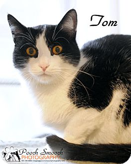 Domestic Shorthair Cat for adoption in Broadway, New Jersey - Tom