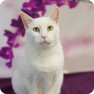 Domestic Shorthair Cat for adoption in Houston, Texas - White Cloud