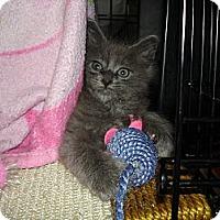 Adopt A Pet :: Baby Blue Boy - Easley, SC