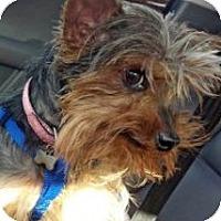 Adopt A Pet :: Tilly - GAINESVILLE, TX