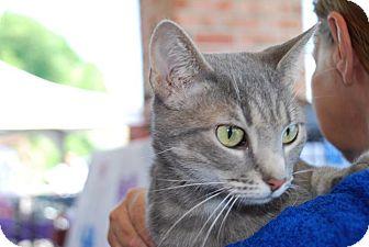 American Shorthair Cat for adoption in Coeburn, Virginia - Gracie