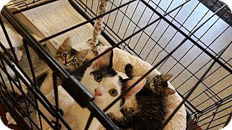 Domestic Shorthair Kitten for adoption in Los Angeles, California - Allison